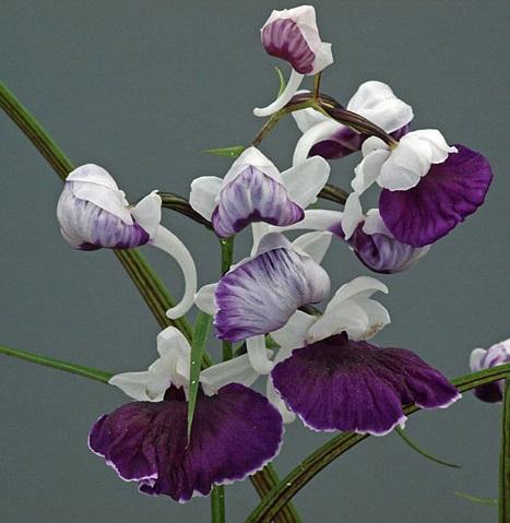 Gioielli giapponesi: le Utyouran – Poneorchis graminifolia