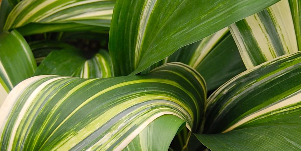 l'Aspidistra: una pianta antica e dimenticata
