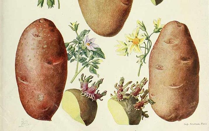 Le patate inglesi e scozzesi